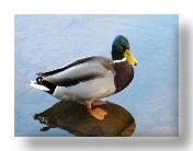 Save the Ducks