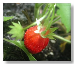 Strawberry from my Container Garden