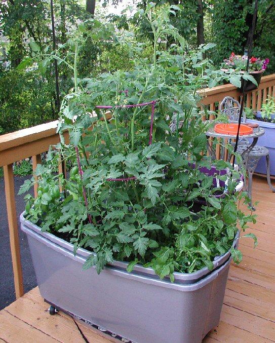Unruly Tomato Plants
