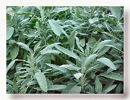 Sage for Hot Flashes and Night Sweats