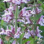 The Beauty of the Herb Sage