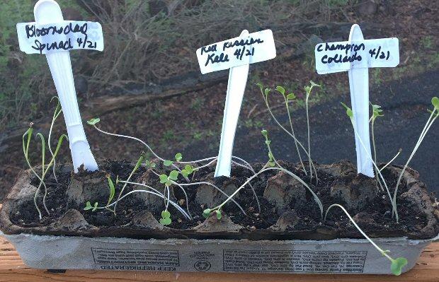 Leggy Seedlings